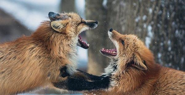 В Запорожье ищут лису, которая сбежала из-за любви — видео