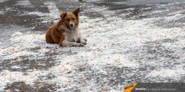 Стерилизация не панацея: как решить проблему бродячих собак в Армении