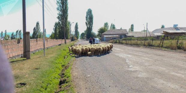 Автомобиль совершил наезд на отару овец в Шираке: пали около 30 животных