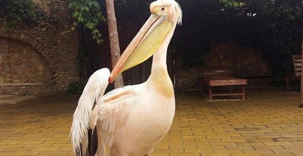 Редкого пеликана удерживают на базе под Одессой
