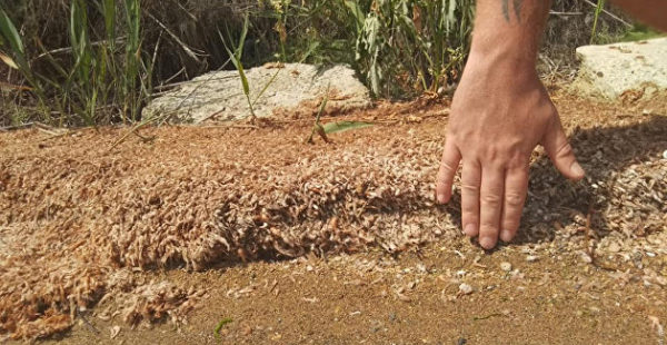 15-сантиметровый слой трупов: в Одесской области массово гибнут креветки