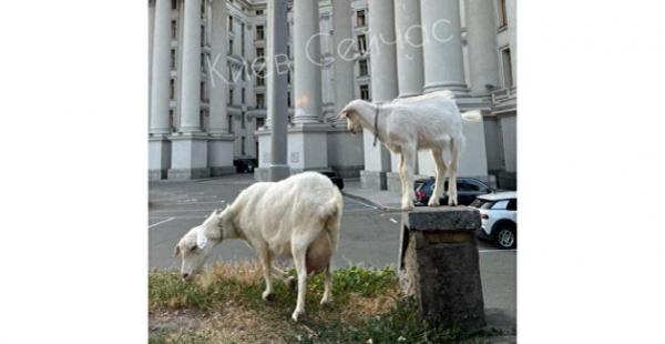 «Новые сотрудники»: у здания МИД Украины заметили коз