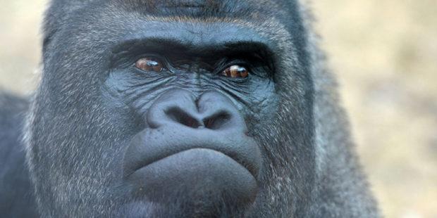В дикой природе свои войны - беспощадны друг к другу человекообразные обезьяны
