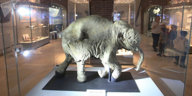 Волгоградский музей выставит мясо мамонта, кости шерстистого носорога и древней лошади