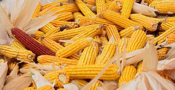 Известный супермаркет кормит украинцев кукурузой для скота