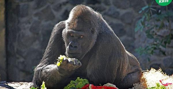 В Киеве отметили день рождения единственного самца гориллы