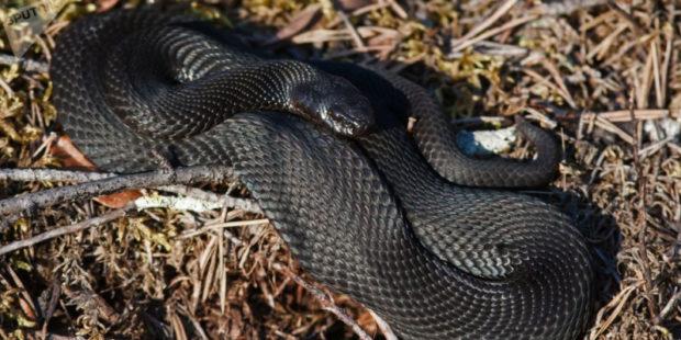 Южноамериканская гадюка против коронавируса: ученые открыли уникальные свойства яда змеи