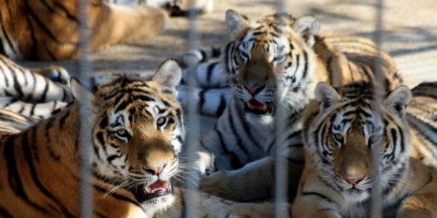 В крымском зоопарке тигр откусил палец годовалому ребенку
