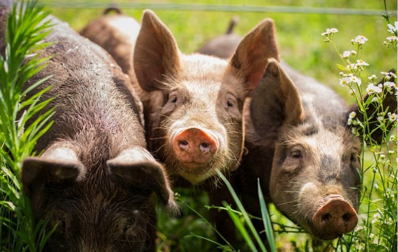 Фермер из Тульской области оштрафован за контакт его свиней с другими животными