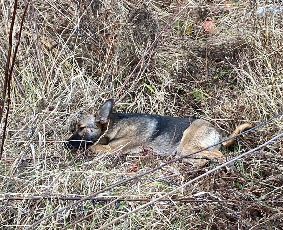 Убийство собак в Киреевском районе: «депутатская» версия не подтверждается