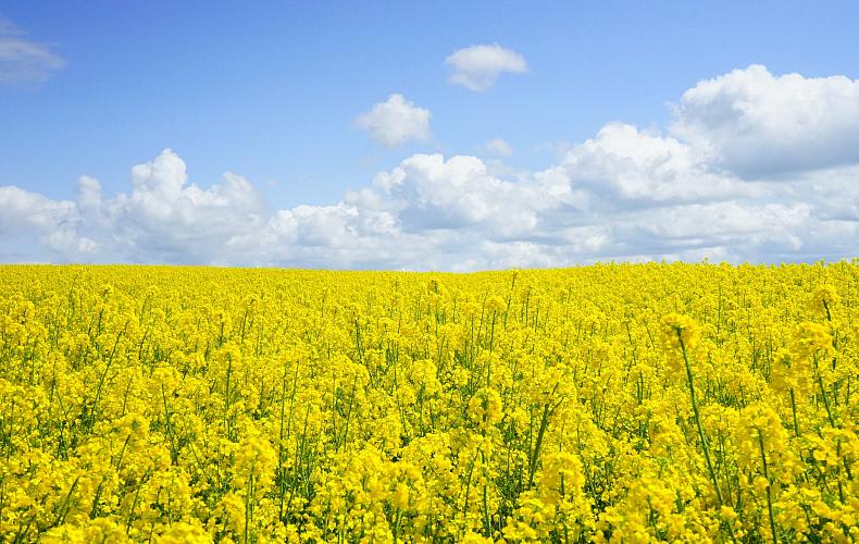 Россельхознадзор расследует происхождение ГМО-рапса в Тульской области