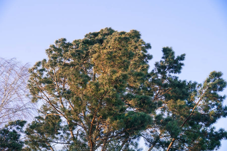 В Тульской области по факту вырубки 14 сосен возбудили уголовное дело