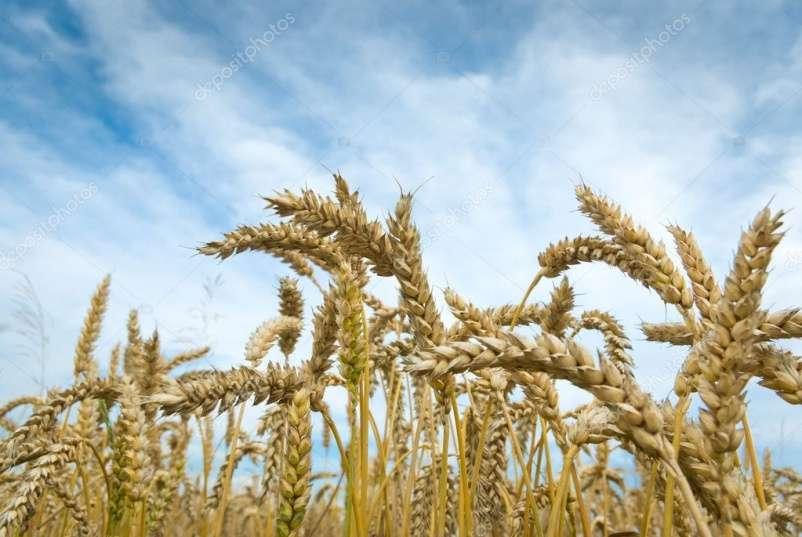 В Щекинском районе - высокий урожай зерновых
