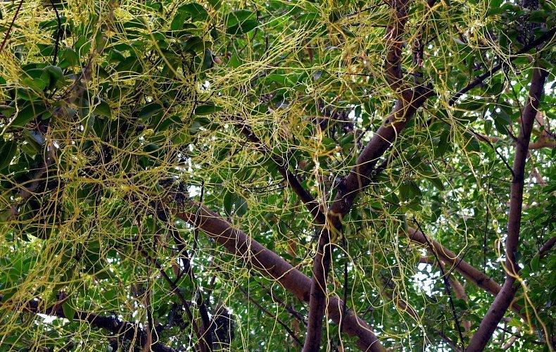 Карантинный режим введен в Ефремовском районе из-за сорного растения